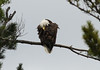 Bald eagle at Umbagog