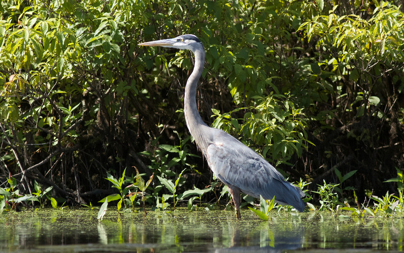 Great Blue Heron, Concord River