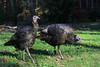 Wild turkeys, Westford MA