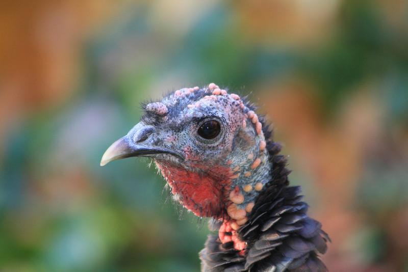 Wild turkey portrait, Westford MA