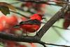 Scarlet Tanager (1)