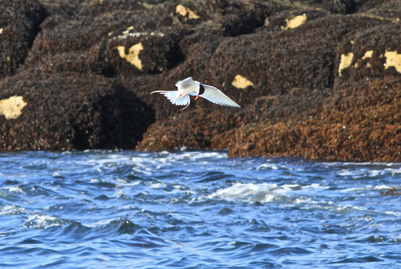 Common Tern diving off Eastern Egg Rock, ME