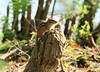 Chipmunk on stump chewed by beaver