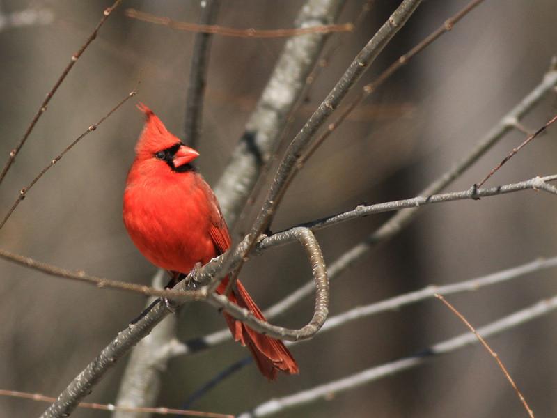 Male Cardinal, Westford MA