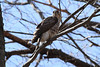 Young hawk at White Pond, Concord MA