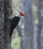 Pileated Woodpecker at White Pond, Concord MA