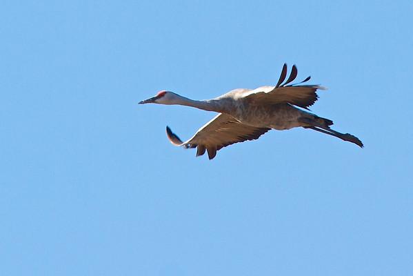 Birds of the California Central Valley