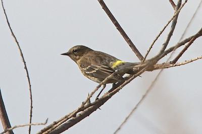 Yellowrumped Warbler