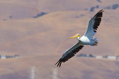 American Pelican