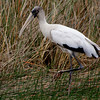 yay...got a woodstork!