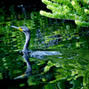 Anhinga swimming