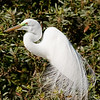Nesting Great Egret