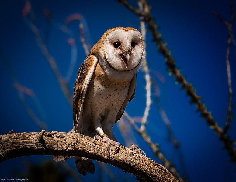 Cutest Barn Owl ever!
