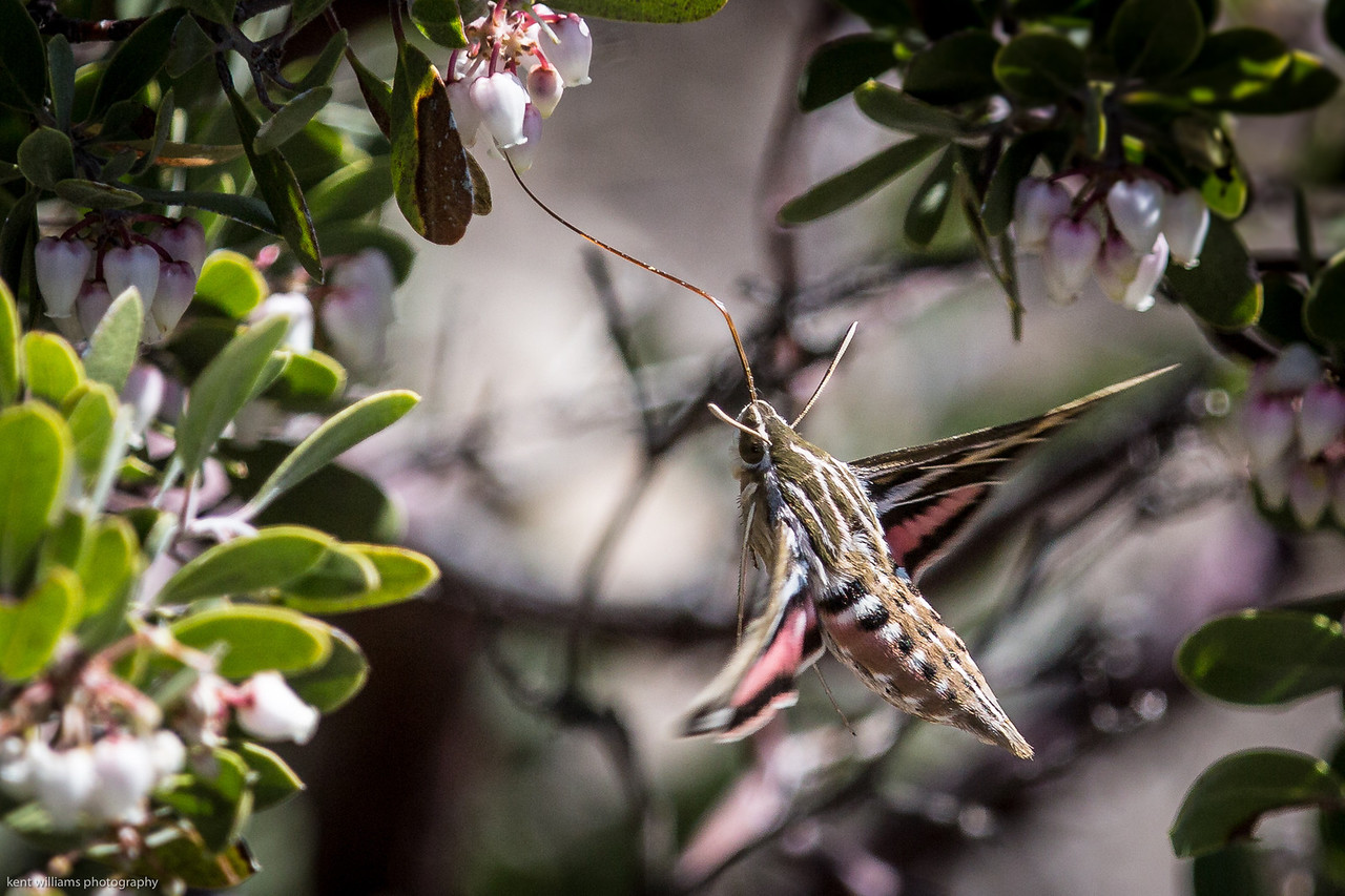 White Lined Sphinx Moth (not a bird)