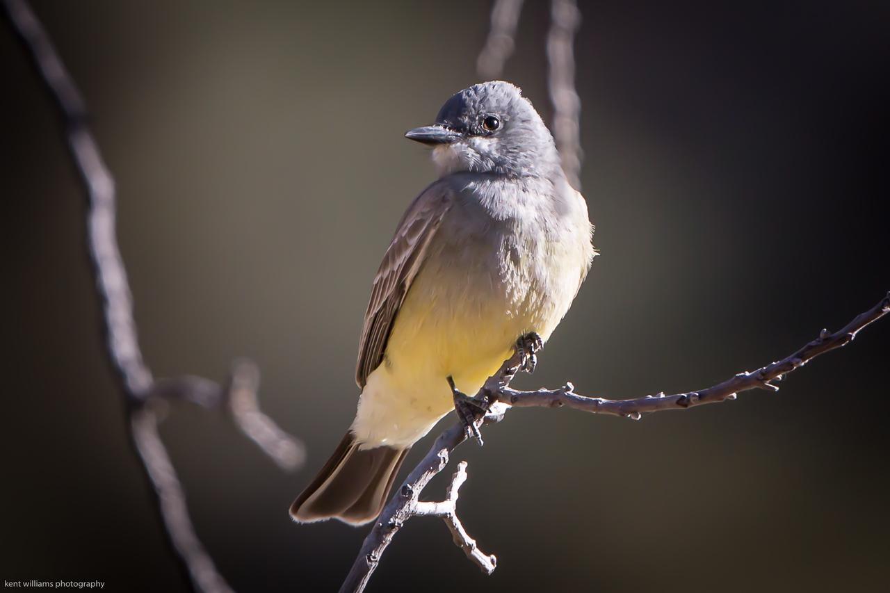 Cassen's Kingbird