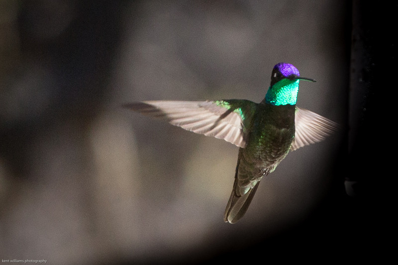 Magnificent Hummingbird.