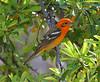 Flame-colored Tanager at Madera Kubo