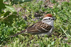 Chipping Sparrow at the Imperial Grasslands