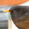 Blackbird (Turdus merula). This male bird used to sit on my parents windowsill waiting for my Dad to bring out some currants for it.