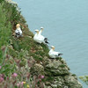 Gannets at Bempton Cliffs