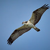 Osprey, immature. Note the orange eyes