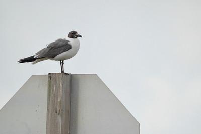 AnahuacNWR_July2014_seagull_DSC0854