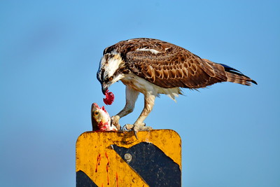 Osprey_Eating_Mullet_Gill_D71_3205a