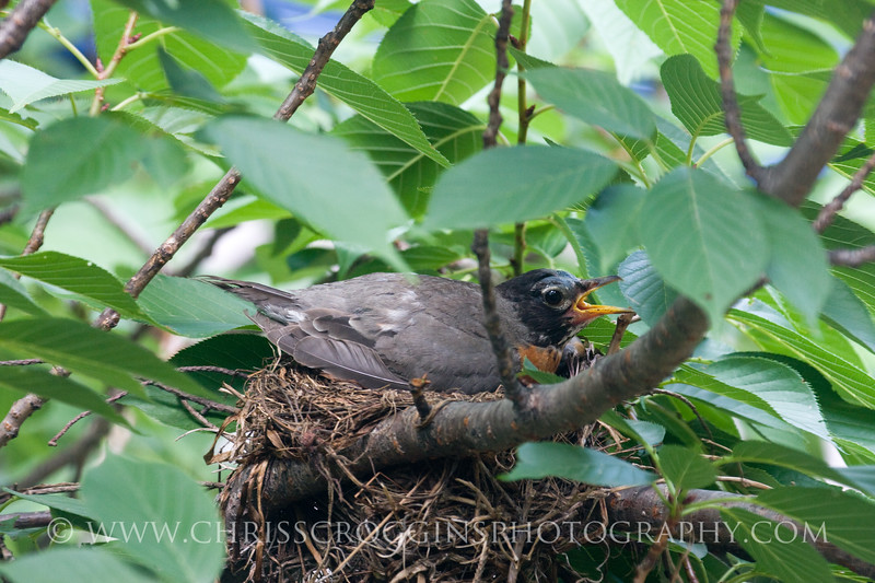 Mother Robin protects her clutch of eggs during Baltimore's 102 degree heat wave.