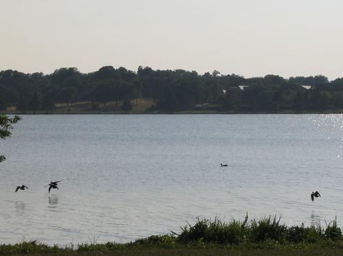 Ducks taking flight across the lake (145_4521)