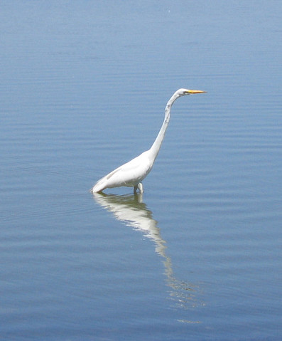 A great egret (Ardea alba) wading near the shore of the lake (146_4677)