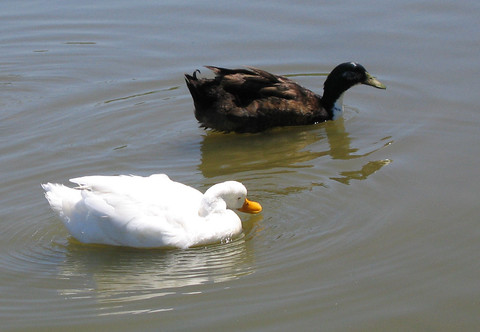 A white and black duck casually floating by (146_4688)