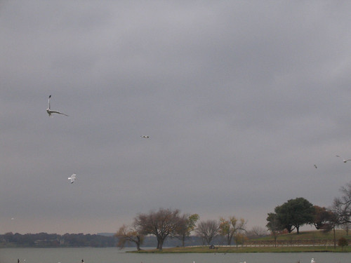 A handful of ring-billed gulls (Larus delawarensis) flying above the lake on a cloudy afternoon (159_5902)