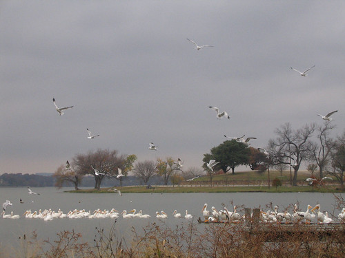 Several dozen ring-billed gulls (Larus delawarensis) flying above the lake on a cloudy afternoon while a large group of American white pelicans (Pelecanus erythrorhynchos) preens in the water (159_5907)