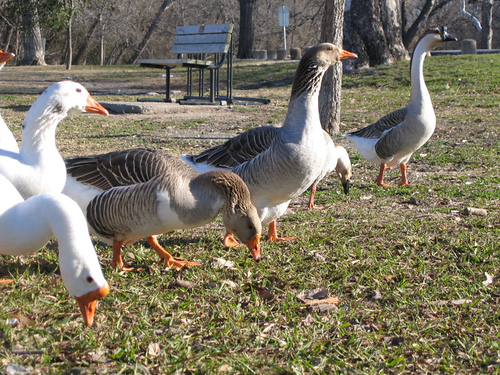 A gaggle of domestic swan geese (Anser cygnoides) and domestic greylag geese (Anser anser) (164_6438)