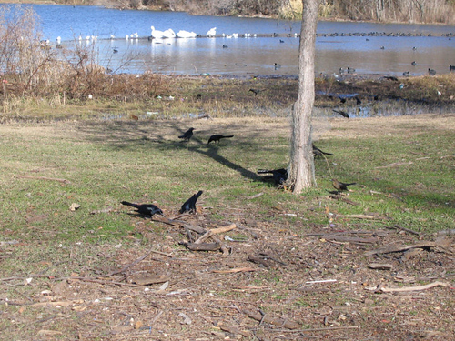Grackles, pelicans, gulls, and coots (164_6456)