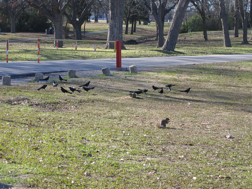 Grackles and squirrels eating birdseed (164_6466)