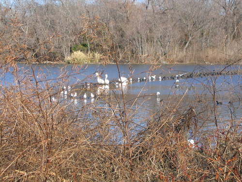 Pelicans, gulls, and coots hidden behind a thicket of shoreline brush (164_6498)