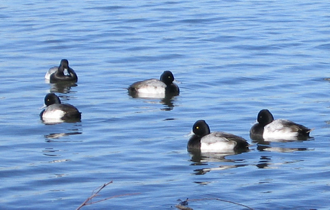 Lesser scaups bobbing in the water just off shore (165_6510)