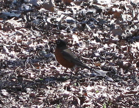 An American robin (Turdus migratorius) standing in the shadow of a tree (172_7293)
