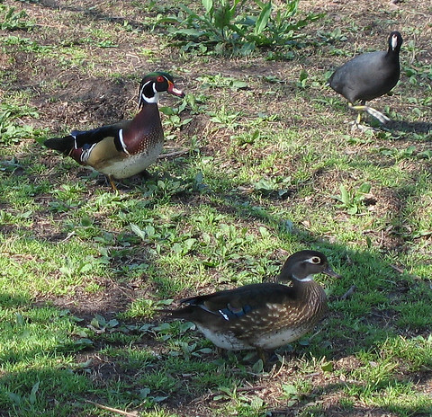 Two wood ducks (Aix sponsa) and an American coot (Fulica americana) (176_7620)
