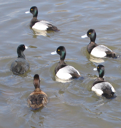 Male and female lesser scaups (Aythya affinis) lounging in the water with an American coot (Fulica americana) hanging around with them (176_7661)