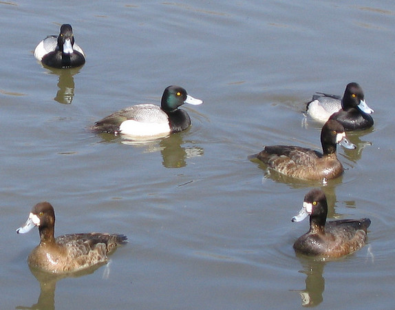 Male and female lesser scaups (Aythya affinis) lounging in the water (176_7663)