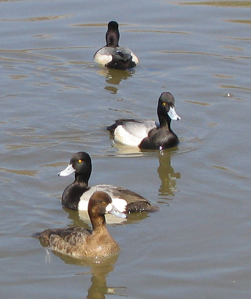 Male and female lesser scaups (Aythya affinis) lounging in the water (176_7665)