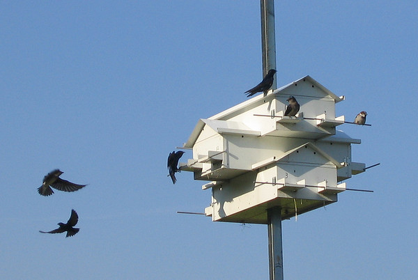 One of the many communal birdhouses around the lake with male and female purple martins (Progne subis) and a lone male house sparrow (Passer domesticus) (192_9213)