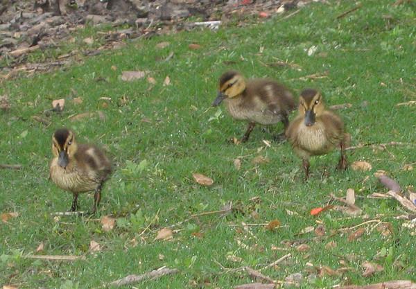 Mallard ducklings (Anas platyrhynchos) (193_9356)
