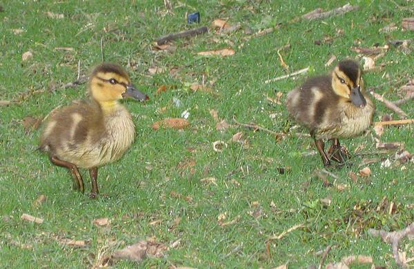 Mallard ducklings (Anas platyrhynchos) (193_9359)