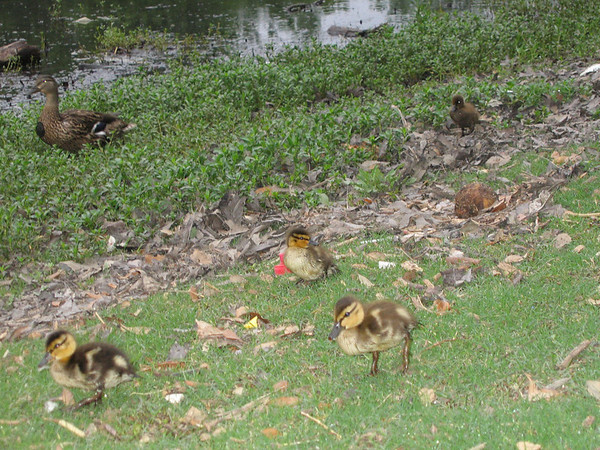 A female mallard duck (Anas platyrhynchos) watches over her ducklings as they explore (193_9362)