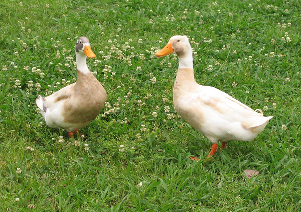 Two unidentified male ducks (194_9404)