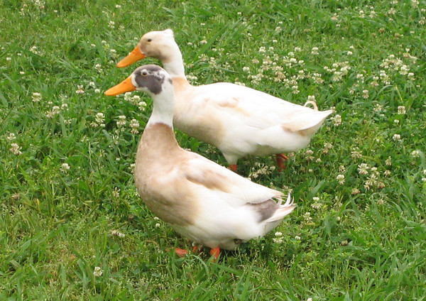 Two unidentified male ducks (194_9405)