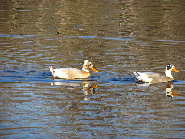 Two Indian runner ducks (Anas platyrhynchos), one of them crested, paddling through cold water